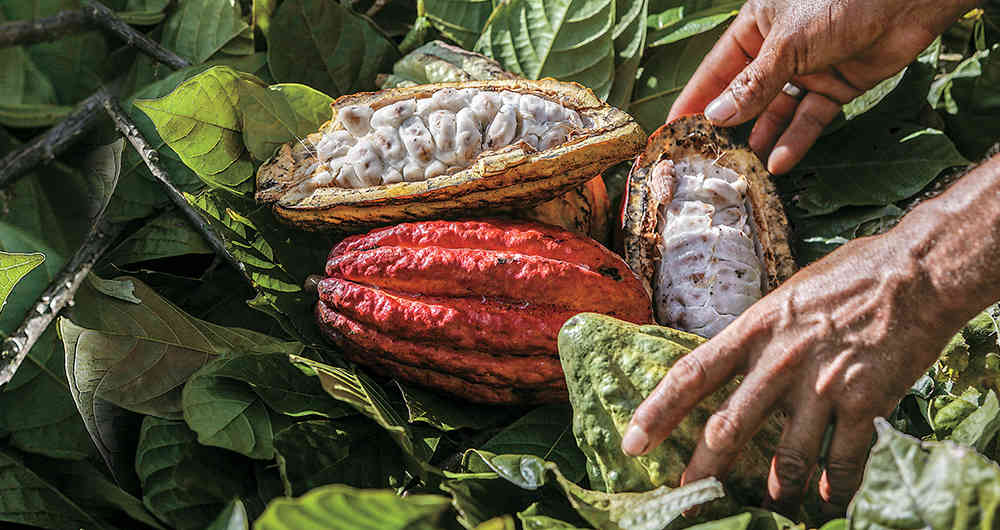 """""""Agroemprende Cacao"""" apoyará 55 cooperativas en más de cinco departamentos"""